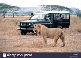 safari land cruiser male lion close to toyota landcruiser serengeti national park