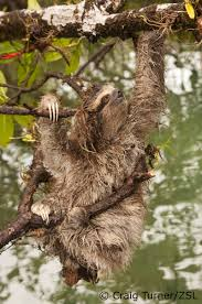 4 toed sloth edge species of the week special edition pygmy three toed