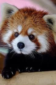 25 red pandas ideas red panda red panda cute