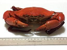 female u0027virgin u0027 crabs rare box of 10 pcs 黄膏蟹 huang gao xie