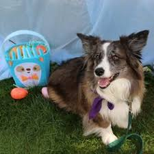 australian shepherd utah rescue good article on plight of homeless cats from animal rescue corps