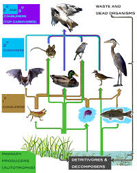what travels through a food chain or web images Research in ecology energy flow and food webs jpg