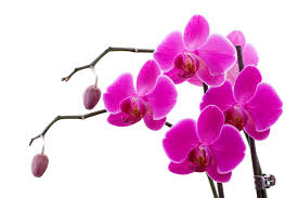 Blue Orchid Flower Free Orchid Flower Wallpapers In White Blue Red Color Imgstocks Com