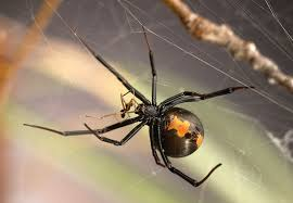 Black Widow Spiders Had A - how male widow spiders avoid being cannibalized during sex