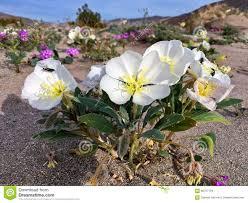 springtime wildflower in bloom in anza borrego desert state park