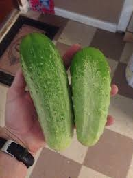 transplanting native plants transplant large cucumber plants u2022 helpfulgardener com