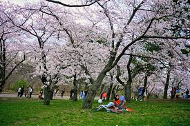 high park cherry blossoms to bloom in early may