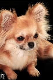 best 25 long haired chihuahua ideas on pinterest long haired