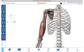 Shoulder And Arm Muscles Anatomy Arm Muscles 3d Anatomy Tutorial Youtube