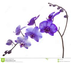 purple orchids purple orchid royalty free stock photos image 30840468