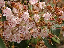 kalmia latifolia file mountain laurel kalmia latifolia u0027olympic wedding u0027 young old
