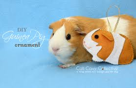 cali cavy collective a about all things guinea pig guinea