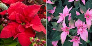 poinsettia care tips 7 golden rules to follow