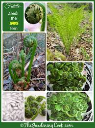 the edible fiddlehead ferns culinary delight from the ostrich fern the