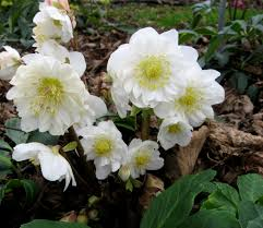 native plants for clay soil helleborus u0027snow frills u0027 hellebores are our favorite blooming