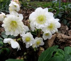 helleborus u0027snow frills u0027 hellebores are our favorite blooming