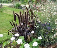 black ornamental millet purple majesty pennisetum glaucum 8 seeds