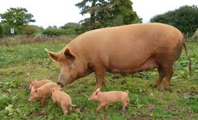 assam u0027s ghungroo pig less disease prone and equally succulent is