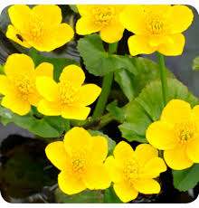 native plants uk wildflowers for sale buy uk wildflower plug plants