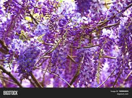 purple wisteria flowers beautiful image u0026 photo bigstock