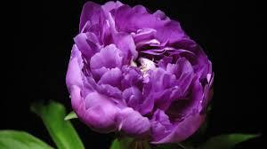 timelapsed blooming flowers u2013 nethugs com