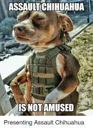 Chihuahua Meme - assault chihuahua is not amused presenting assault chihuahua