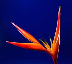 vibrant wallpaper bird of paradise blossom caudata colorful exotic flower