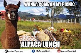 Alpaca Sheep Meme - th id oip e6zqy8ivtetlurvu ynxvahae7