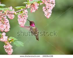 Hummingbird Flowers Hummingbird Flower Stock Images Royalty Free Images U0026 Vectors