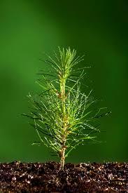 small pine tree plant stock photo image of mist plant 13967184