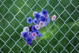 file flowers in a wire net fence jpg wikimedia commons