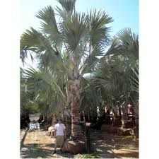 sylvester palm tree price bismarck palms trees for sale