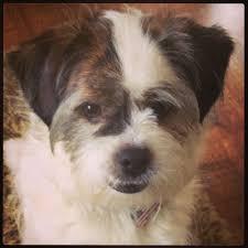 bichon frise x jack russell freddie our jack russell shih tzu puppy love pinterest