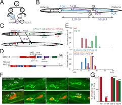 transmembrane protein mig 13 links the wnt signaling and hox genes