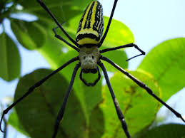 spider golden orb weavers nephila female philippines in the
