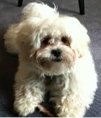 afghan hound poodle cross shihpoo toy poodle and shih tzu mix spockthedog com