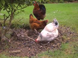 Chicken In Backyard Ranger News Surge In Backyard Poultry Numbers