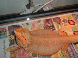 highest color u2022 bearded dragon org