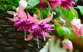 hanging flowers 25 best plants for hanging baskets garden club