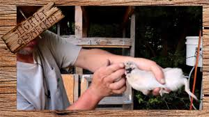 how to keep quail from fighting the sr quail update 6 26 17