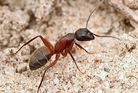 urban ants midwestern united states
