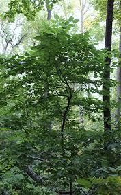 the rarest tree