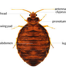 Bed Bug Bed Bug Control In Auburn Lewiston Augusta Maine
