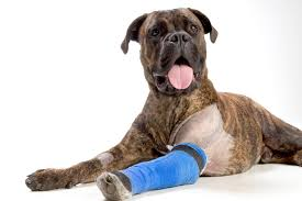 3 legged boxer dog arthritis in dogs symptoms and signs