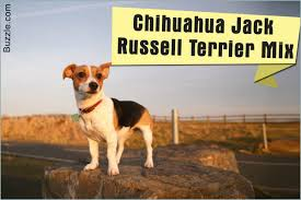 Do All Short Haired Dogs Shed by The Good And Not So Good Traits Of Chihuahua Terrier Mix Breeds