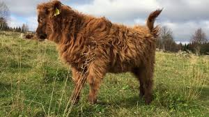 scottish highland cattle in finland calf stretching youtube
