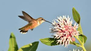 native plants for birds how climate change affects hummingbirds u0027 feeding behavior audubon