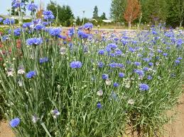 bachelor buttons bachelor button blue jubilee gem logan zenner seeds inc
