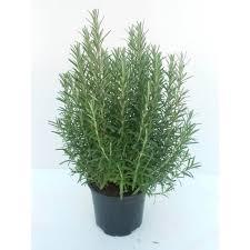 erba cipollina in vaso vendita pianta aromatica di rosmarino rosmarinus officinalis in vaso