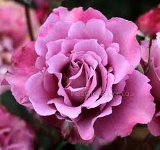 Climbing Plants For North Facing Walls - 9 best garden roses images on pinterest garden roses